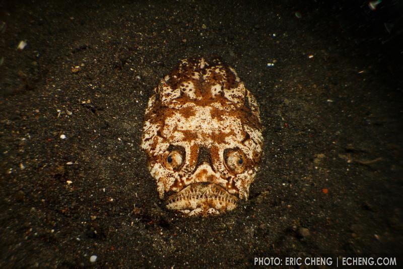 A stargazer (Uranoscopus chinensis) lies in ambush, waiting for passing fish. Lembeh Strait, Indonesia. echeng100303_0252242
