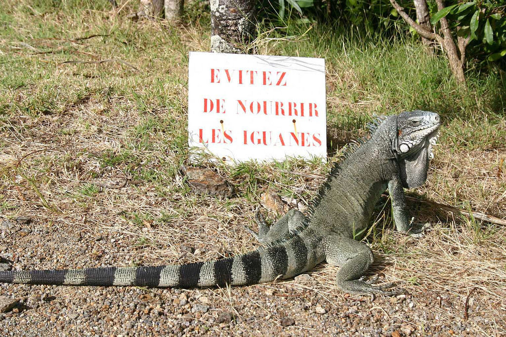 The fort was crawling with iguanas!