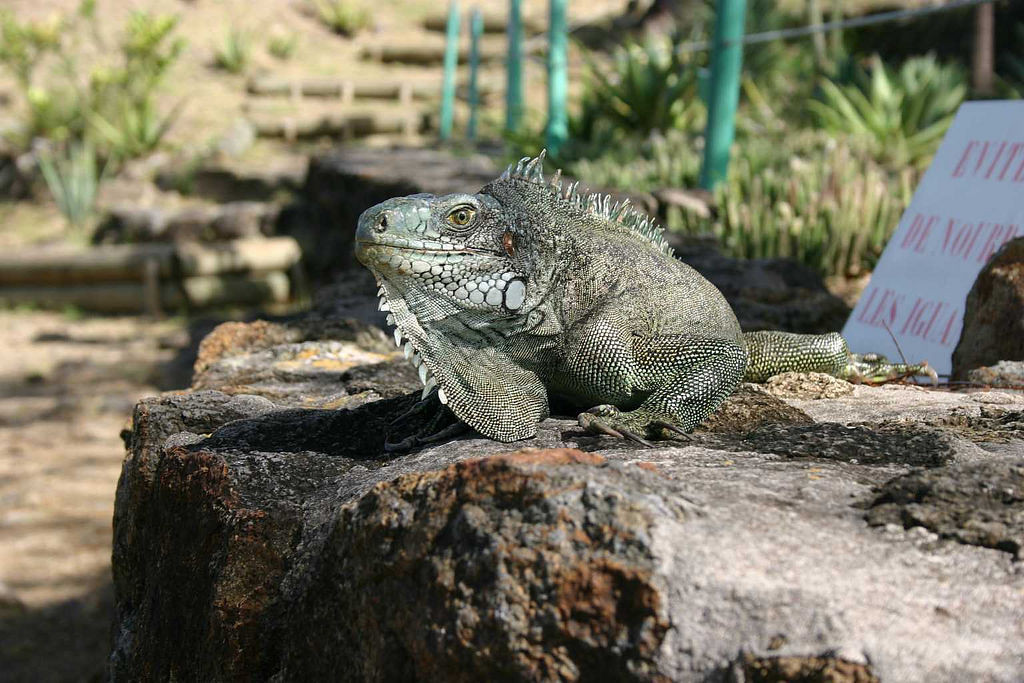 The iguanas were quite used to tourists.