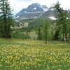 Glacier lily in Sunshine Medow(Banff National Park)