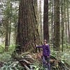 Huge old-growth trees
