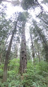 So tall, these trees