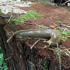 Native banana slug