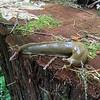 Native banana slug