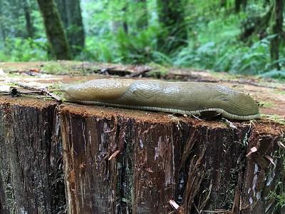 Banana slug, stretched out and cruising