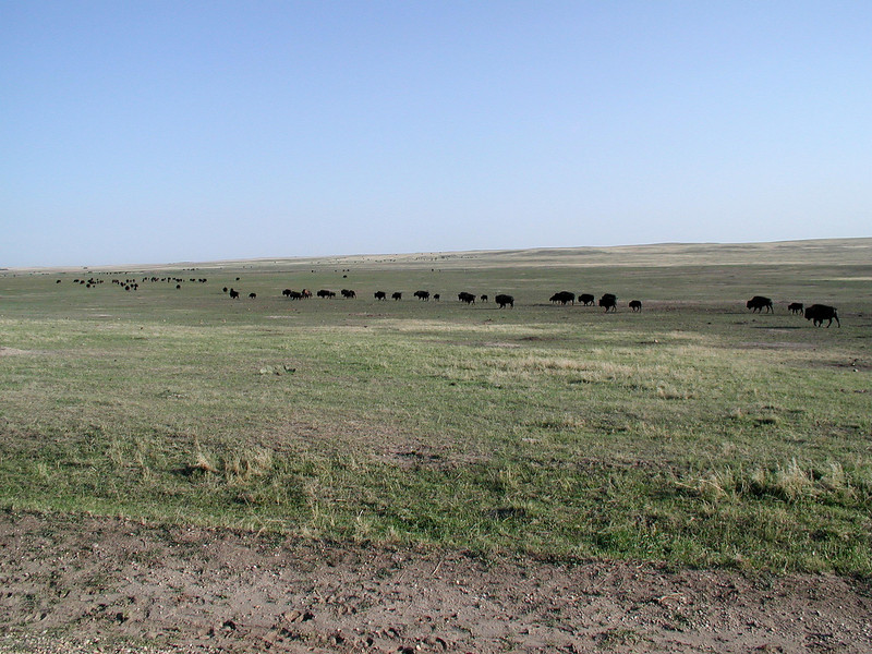 The largest bison herd we had ever seen until then, creating a bison jam where they crossed the road through Badlands National Park.