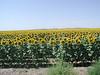 Sunflower fields in South Dakota