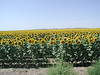 Sunflower fields in South Dakota