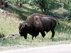 Bison near Wind Caves National Park in the Black Hills