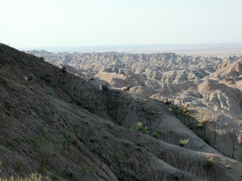 Rocky Mountain Sheep - Badlands National Park