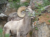 Rocky Mountain Sheep in the Black Hills