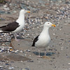 Black wing gulls.