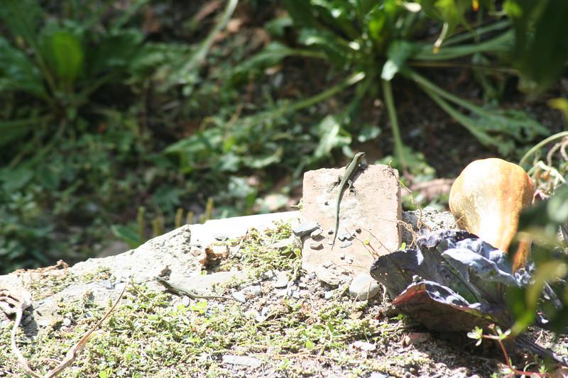 Sunbathing lizard.