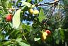 Fruit on a strawberry-tree. Yum. Weird. Weirder than a fig. But good that way.