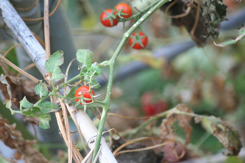 Mmm, tomatoes.