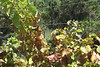 Italy\'s version of fall color. Call us leafers, go ahead.