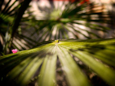 Shuhe - Fan Palm