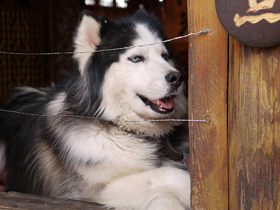 Shuhe - Huskies are well suited to the climate