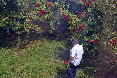Driver Picks Native Fruit