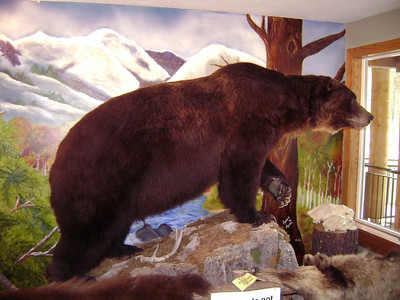 Huge bear on display in the Forest Service building in Lincoln, Montana