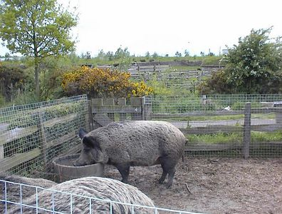 This pig oinks with a proper British accent- Bede's World, Jarrow