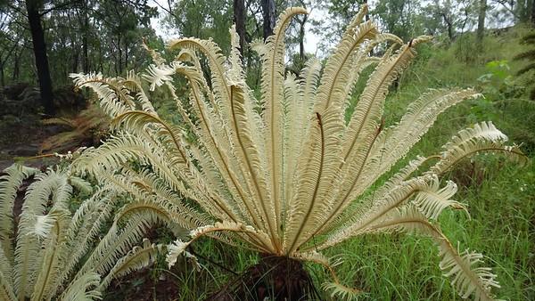 Cycas calcicola, Cycadaceae