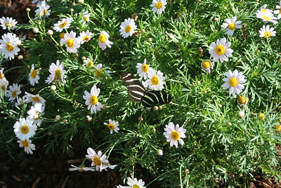 11/13/05 Zebra Longwing (Heliconius charithonius) at the Butterflies Alive! Exhibit. The Living Desert Zoo & Gardens, Palm Desert, Riverside County, CA