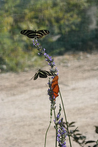 11/13/05 Zebra Longwings (Heliconius charithonius) and Julia Butterflies (Dryas julia) at the Butterflies Alive! Exhibit. The Living Desert Zoo & Gardens, Palm Desert, Riverside County, CA