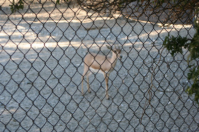 11/13/05  Slender-Horned Gazelle? (Gazella leptoceros) at the Gazelles & East African Crowned Crane Exhibit. The Living Desert Zoo & Gardens, Palm Desert, Riverside County, CA.  While their former habitat was the sandy lowlands and dunes of the Sahara desert of Egypt west to Algeria, slender-horned gazelles are now extinct in the wild. In the United States, they exist in captivity in many zoos throught the country.   In 1972, slender-horned gazelles were declared endangered by the IUCN with only 10 known alive, and those in captivity. In 1981, five of the world herd (numbering only 48) were relocated to The Living Desert from the San Diego Wild Animal Park.  The Living Desert's cooperation in the captive breeding program to save this critically endangered species has been a huge success. Over the years, 41 have been born at The Living Desert. Many have been relocated to other zoos to insure genetic diversity.