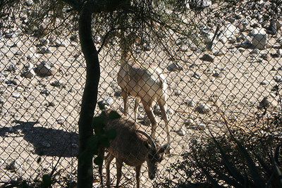 11/13/05 Bighorn Sheep at Bighorn Sheep Hill. The Living Desert Zoo & Gardens, Palm Desert, Riverside County, CA  Bighorn are widespread sparingly dispersed in the western mountains from Canada to California and Mexico. The Desert Bighorn subspecies is only found in the southwestern deserts. Desert Bighorn are now so few in number and generally so well-secluded in their rocky habitat that they are seldom seen. Their ideal habitat is the arid, desolate rocky ranges which jut up from the low desert plains.   The U. S. population of the Desert Bighorn found in the Peninsular Ranges of southern California is on the federal Endangered Species List. They are endangered primarily due to loss of habitat from urban development and from decimation of herds from viral respiratory infections that affect lambs.