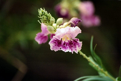 8/31/02 Desert Willow (Chilopsis linearis). The Living Desert, Palm Desert, Riverside County, CA