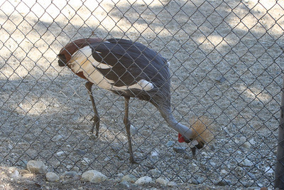 11/13/05  East African Crowned Crane (Balearica regulorum gibbericeps) at the Gazelles & Crowned Crane Exhibit. The Living Desert Zoo & Gardens, Palm Desert, Riverside County, CA.  Found in marshes and grasslands near rivers and lakes; also near cultivated land. Occurs in eastern Zaire, Uganda, Kenya and Tanzania. It is the national bird of Uganda.
