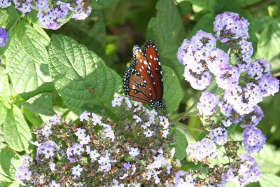 11/13/05 Queen Butterfly (Danaus gilippus) at the Butterflies Alive! Exhibit. The Living Desert Zoo & Gardens, Palm Desert, Riverside County, CA