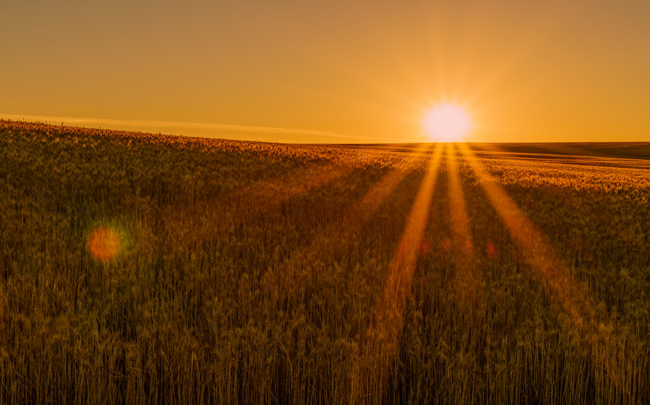 wheat farm sunrise