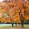 Hickory trees along my driveway.