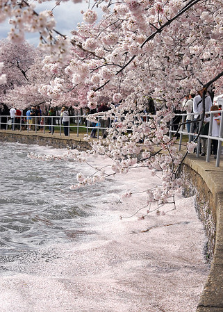 Cherry Blossoms 2009
