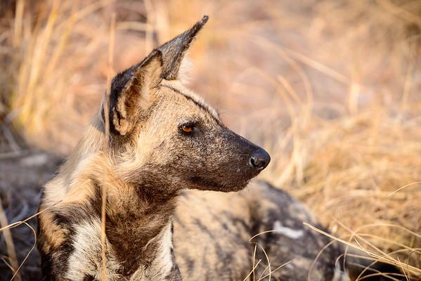African Wild Dog Evening Sun