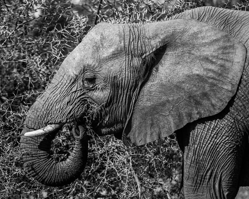 Chomping Elephant