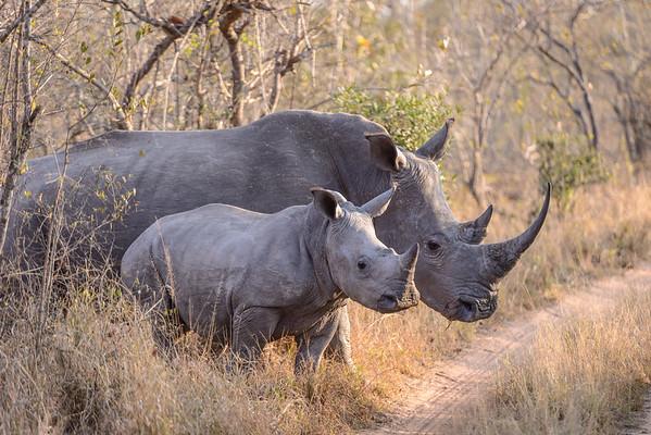 Strolling Rhinos