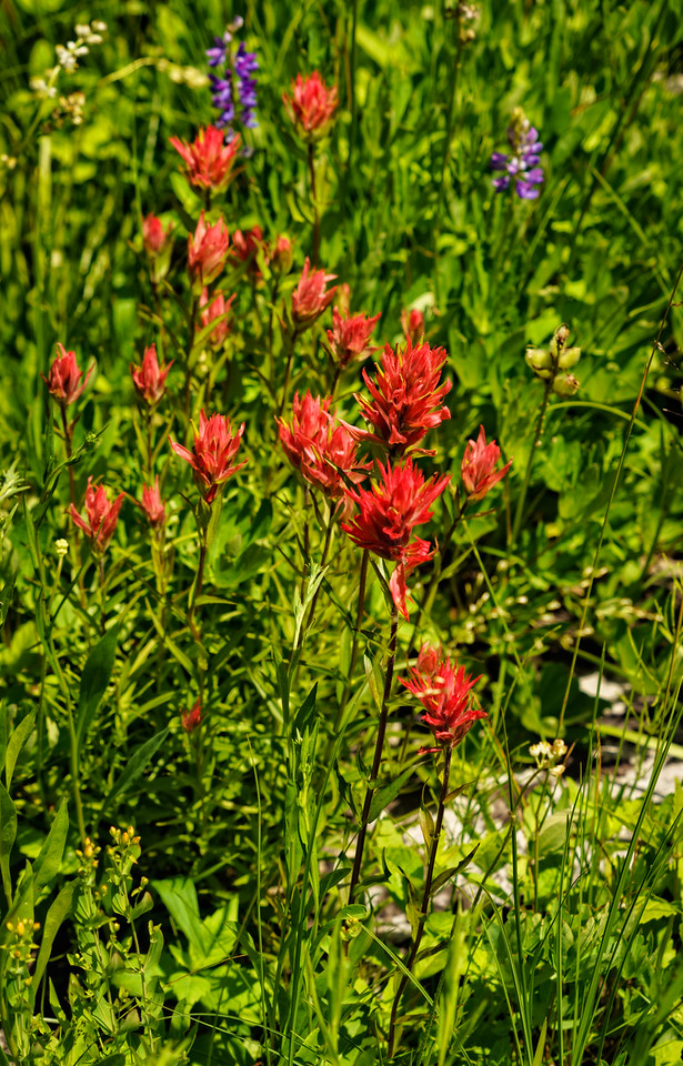 Wild flowers along the Lochsa river in Idaho