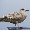 Nusfjord: Young Seagull