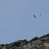 Haukland Beach: Seaeagle Attacked by Crow