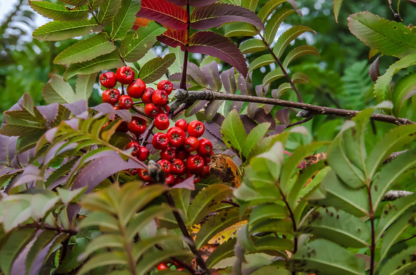 Tind: Red Berries (There amount is said to predict the strength of the winter)