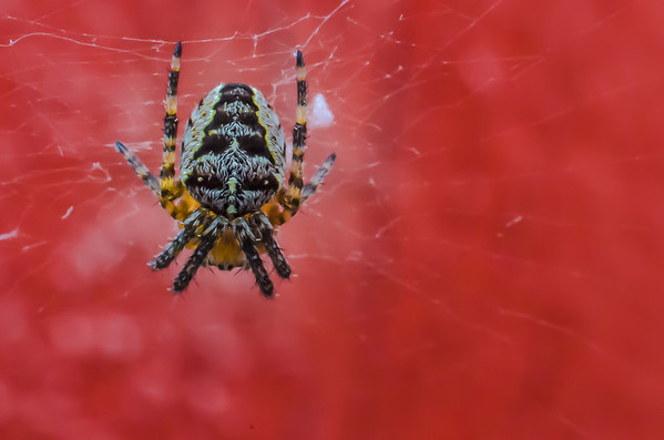 Tind: Cross Spider (2 mm)