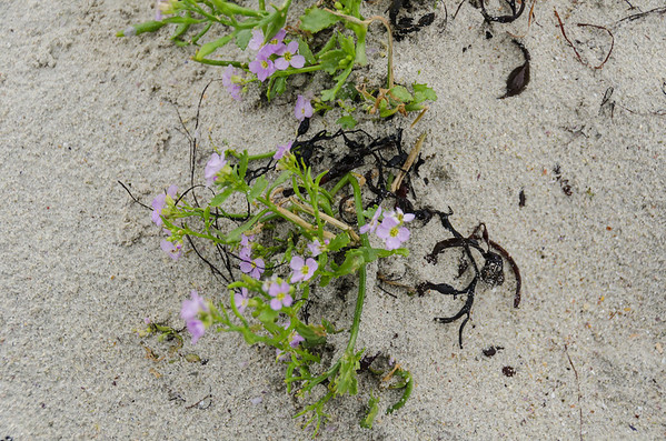 Ramberg Beach: Plant Growing in the Salty Sand