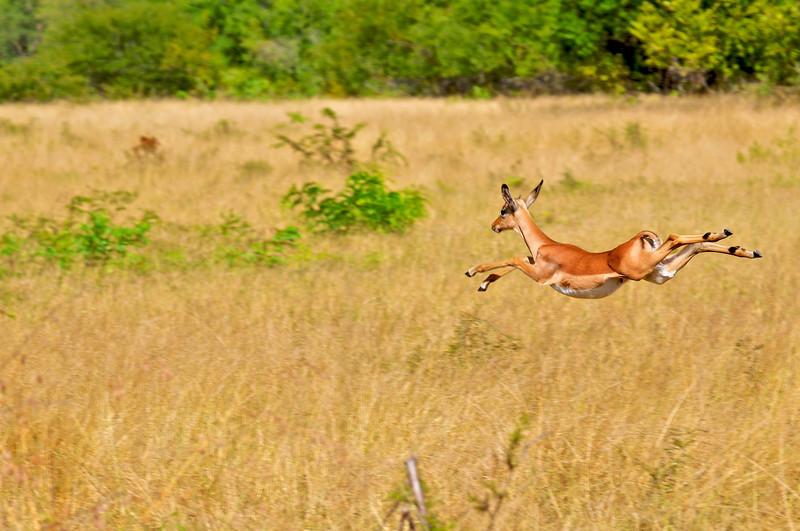 Impala in Londolozi