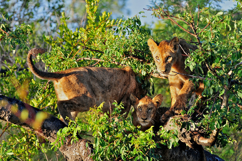 Lions playing rough in Londolozi