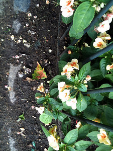 Flowers in Kensington Park, a very pretty peach & yellow heart-shaped impatiens