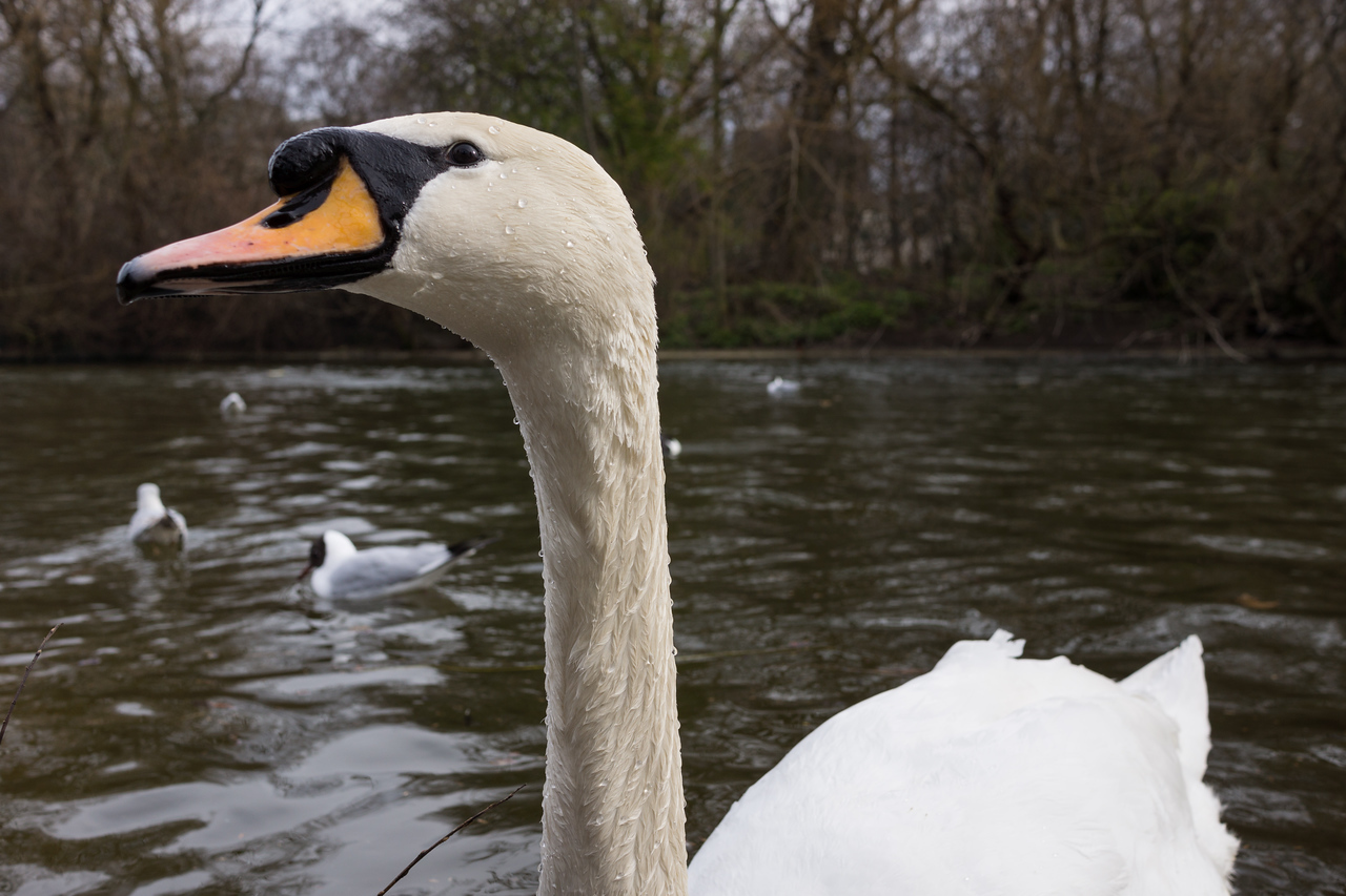 Swan in St. James Park
