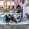 Rapacious pigeons II